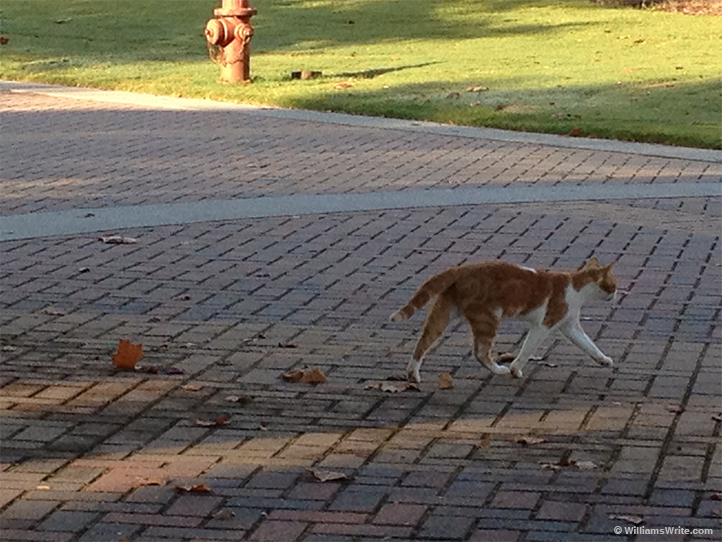 Orange and White Campus Kitty, UWG (Carrollton, Georgia - 27 August 2012)