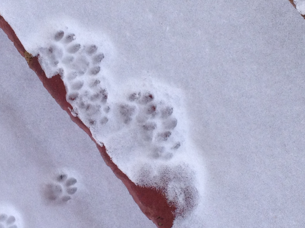 RSWilliams_CatPrintsOnSnowCoveredSteps